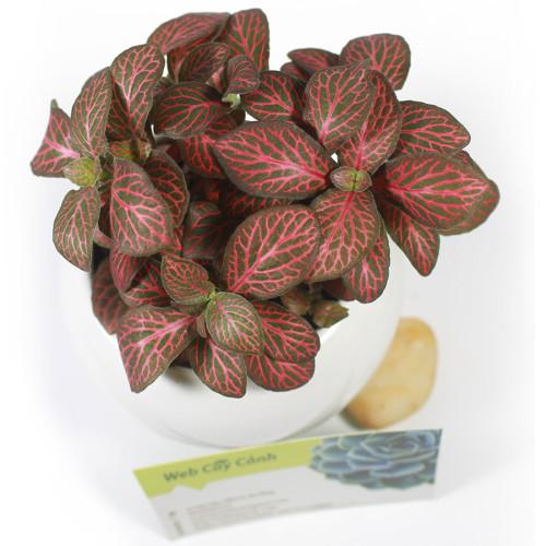 Cẩm nhung Fittonia
