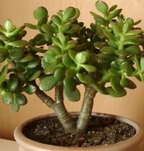 cây ngọc bích