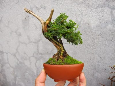 bonsai-linh-sam-mini-de-ban