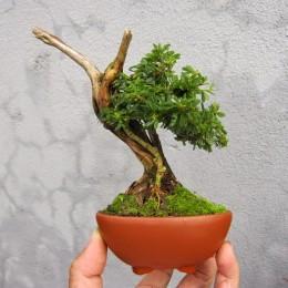 bonsai-linh-sam-mini-de-ban