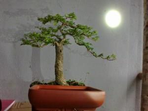can-thanh-bonsai-mini-de-ban