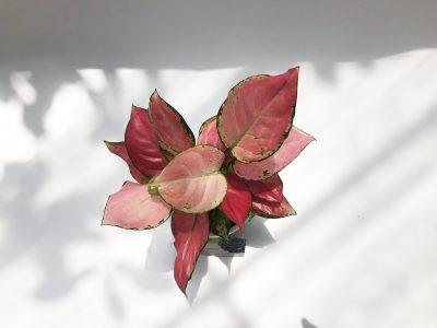 cây vạn lộc lá đỏ