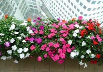 những loại hoa trồng ban công chịu nắng cực tốt