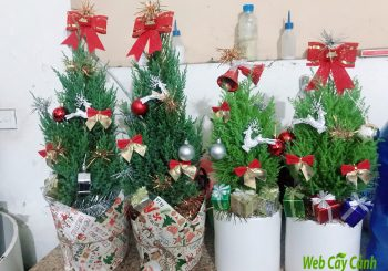3 loại cây được tặng noel