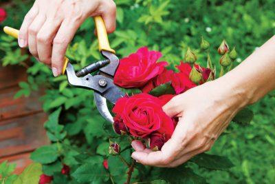 Cắt tỉa hoa hồng