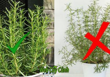 chọn cây hương thảo