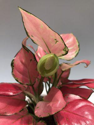 hoa cây vạn lộc