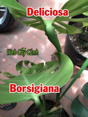 monstera borsigiana deliciosa