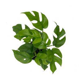 cây mini monstera